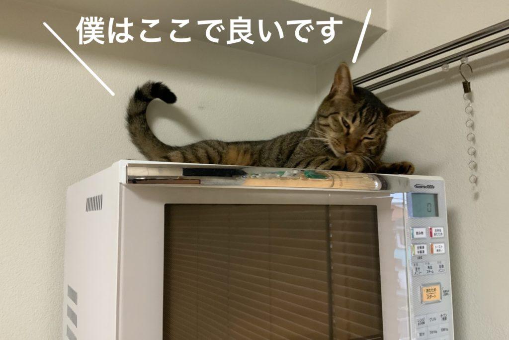 電子レンジが好きな猫の写真